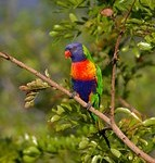 rainbow-lorikeet-420706__180