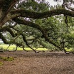 virginia-live-oak-440351__180